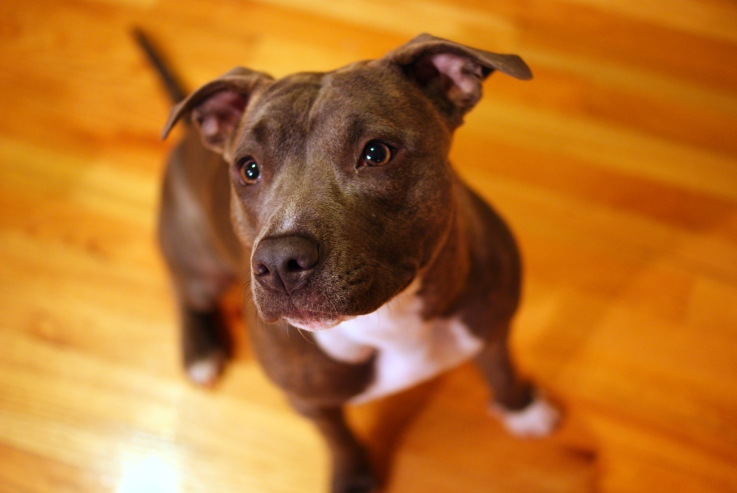 Pitties = Best.Dogs.Ever
